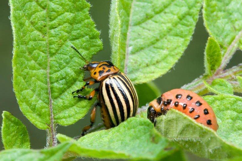 Как избавиться от колорадского жука народными и хическими средствами