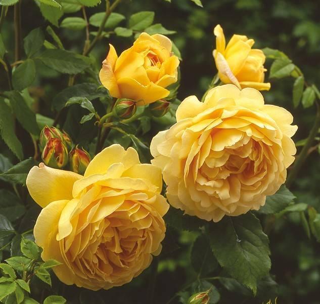 Представляем изящную красавицу розу абрахам дерби — все, от описания до фото цветка