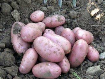 Сорт картофеля рябинушка: описание и характеристика, отзывы