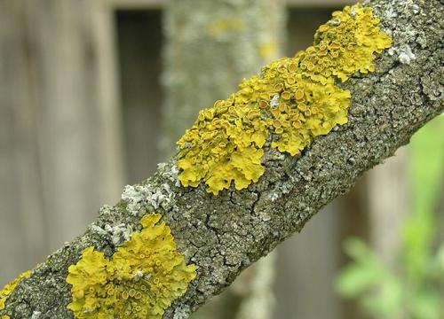 Борьба с мхом и лишайником на плодовых деревьях