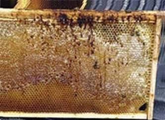Акарапидоз