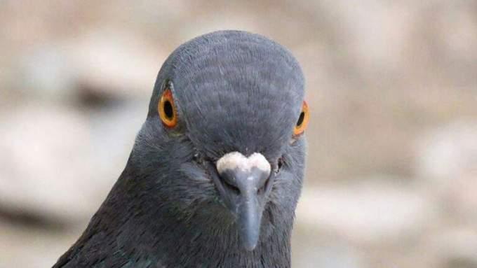 Болезни голубей, опасные для человека