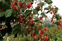 Древовидная малина: лучшие сорта и особенности агротехники