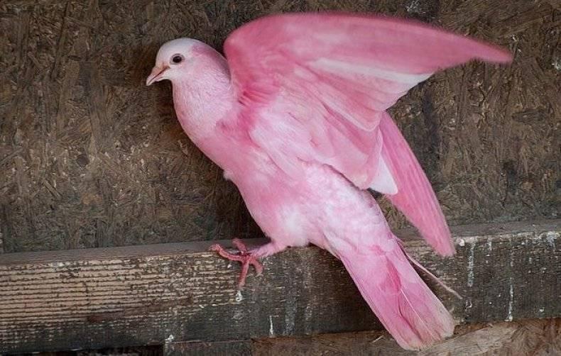 Розовый голубь