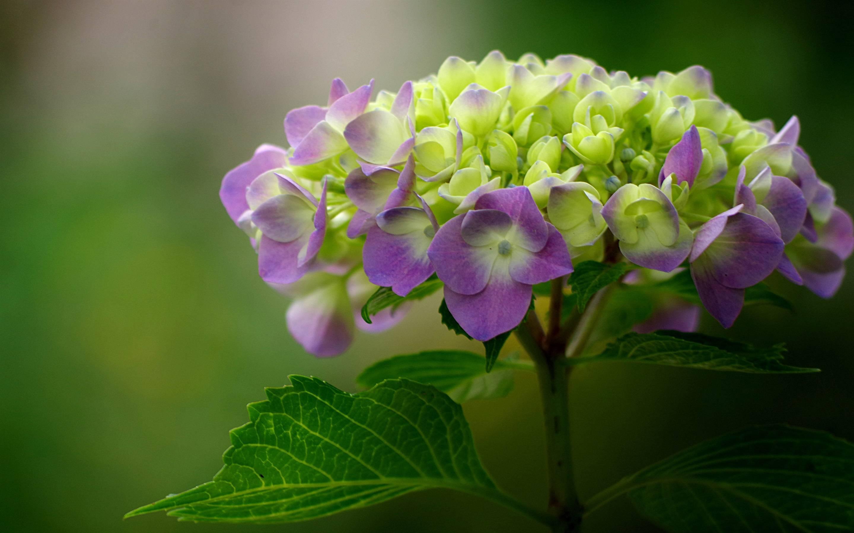 На какой год цветет гортензия после посадки