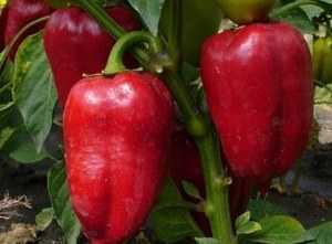 Лучшие желтые и оранжевые сорта сладкого болгарского перца для открытого грунта и теплицы
