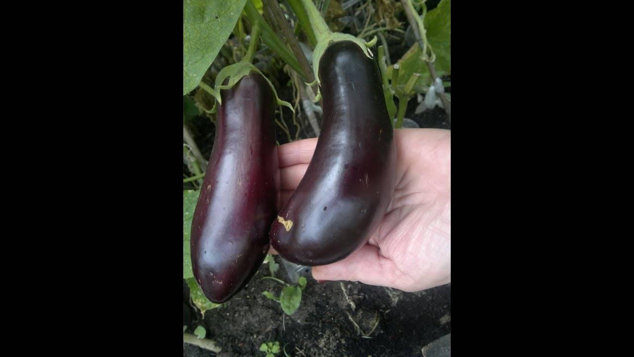 Баклажан марципан: урожайность, характеристика и описание сорта
