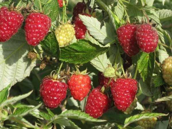 Малина вольница: характеристика, особенности выращивания