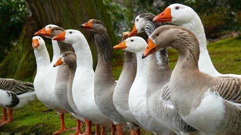 Лучшие породы гусей