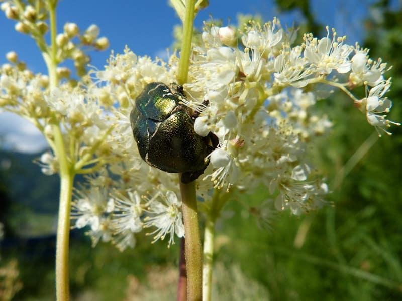 Лабазники: выращивание, размножение, полезные свойства