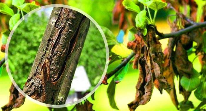 Причины возникновения и лечение бактериального ожога груши