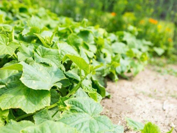 Луковая шелуха для огорода и сада: применение