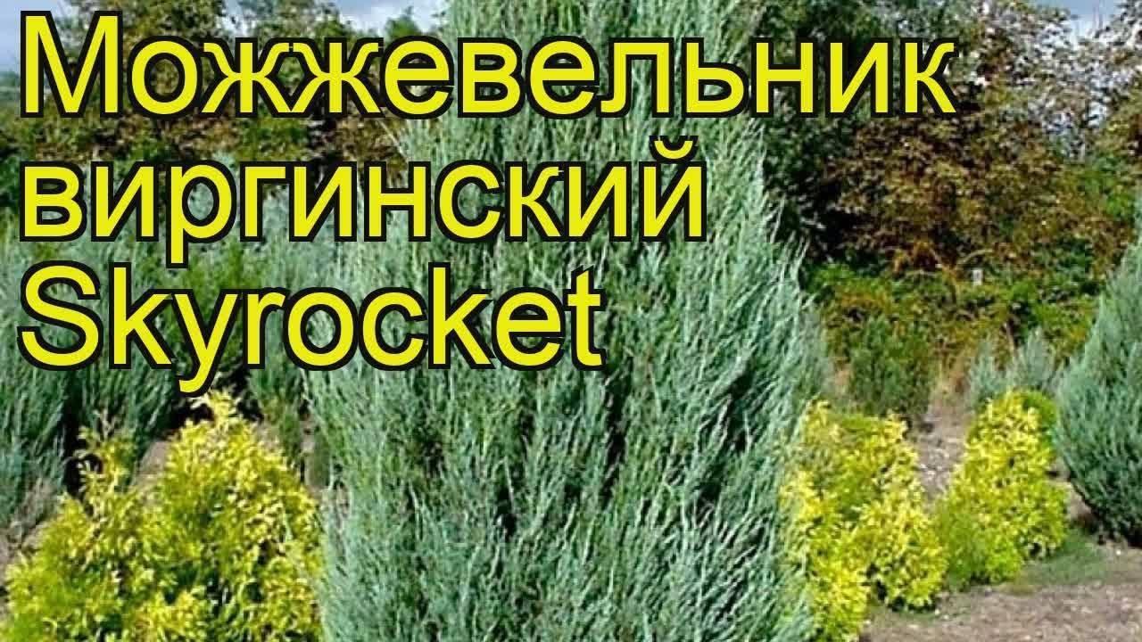 Можжевельник скайрокет скальный: описание и характеристики