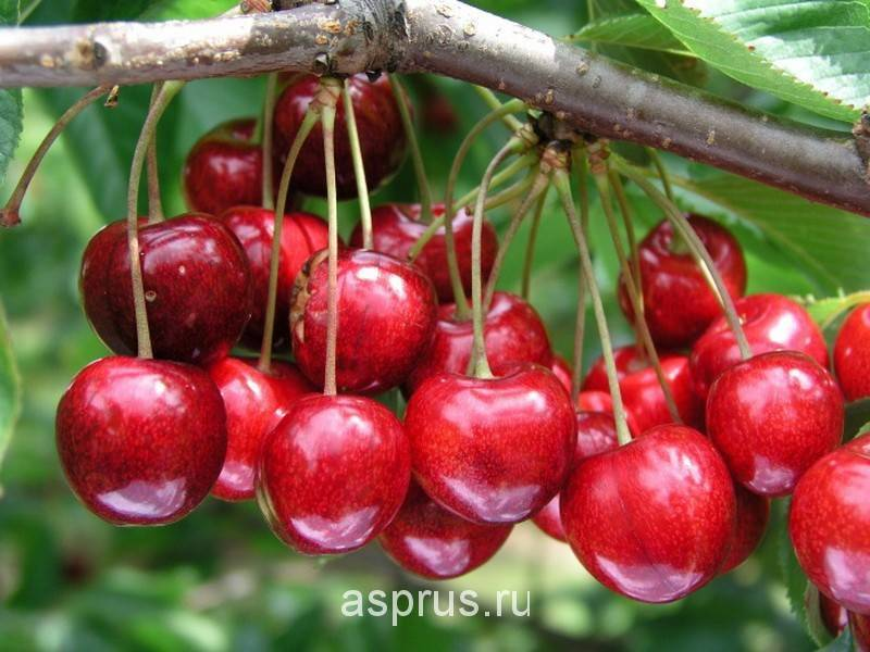 Особенности посадки и ухода за крупноплодной вишней