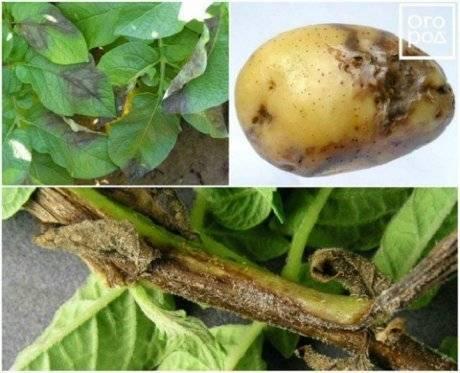 Как применять гербициды от сорняков на картофеле