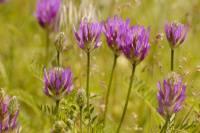 Астрагал - трава жизни. полезные свойства и применение
