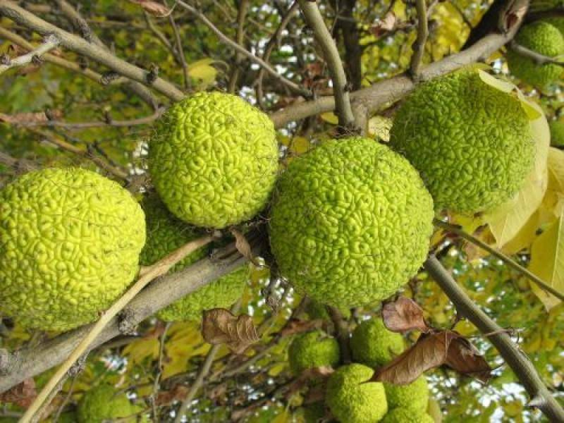 Томат адамово яблоко характеристика и описание сорта
