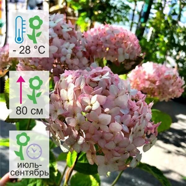 Гортензия «пинк леди» (35 фото): описание гортензии метельчатой pink lady, посадка и уход в открытом грунте, размножение