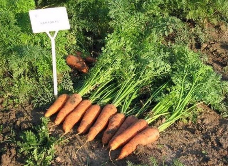 Особенности ухода и выращивания моркови кордоба f1