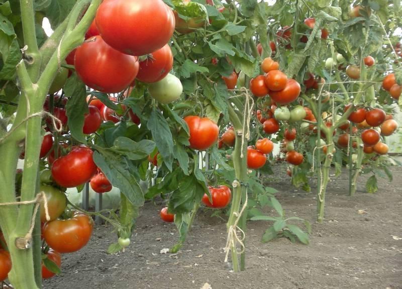 Отечественный томатный сорт король сибири — описание и выращивание
