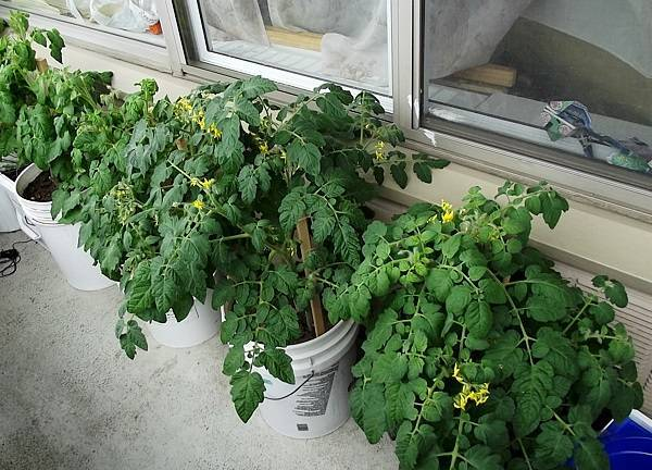 """Помидоры """"балконное чудо"""": выращивание дома в горшке – на подоконнике и на балконе, и в условиях открытого грунта, а также как правильно посадить семена томатов?"""