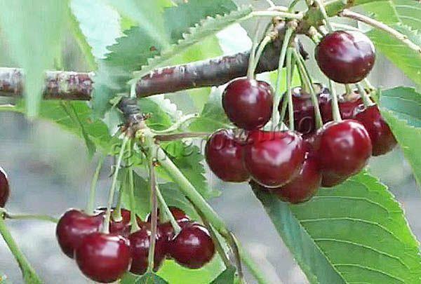 Ранняя черешня – лучшие сорта по отзывам садоводов