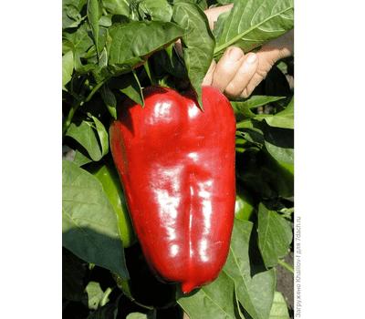 Перец фишт f1 — описание сорта, фото, отзывы, посадка и уход