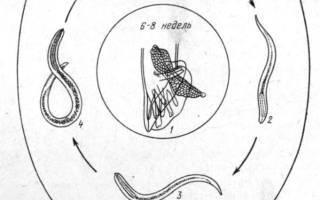 Симптомы и причины появления колибактериоза у телят, основные правила лечения