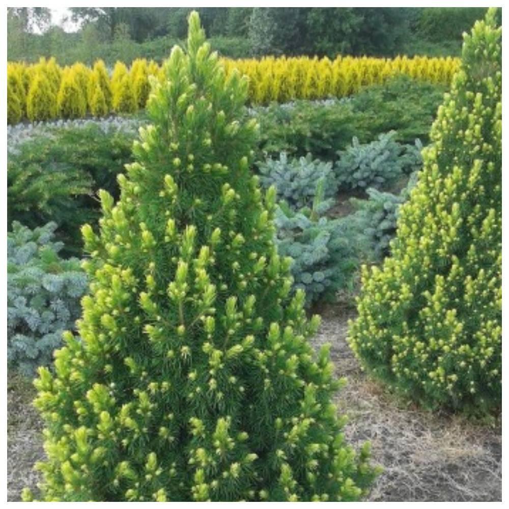 Как сажать и выращивать сорта канадской ели