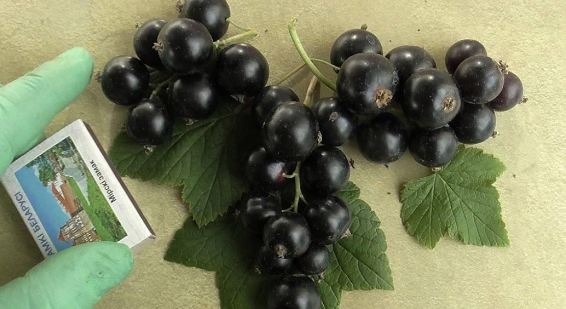 Смородина: лучшие способы, секреты и особенности агротехники