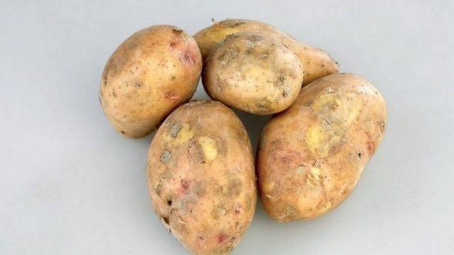 Картофель лили — описание сорта, фото, отзывы, посадка и уход