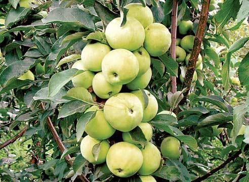 Опытные садоводы расскажут, как производится обрезка старых яблонь