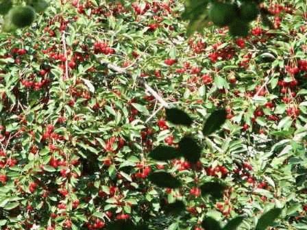 Вишня степная или кустарниковая: фото и описание