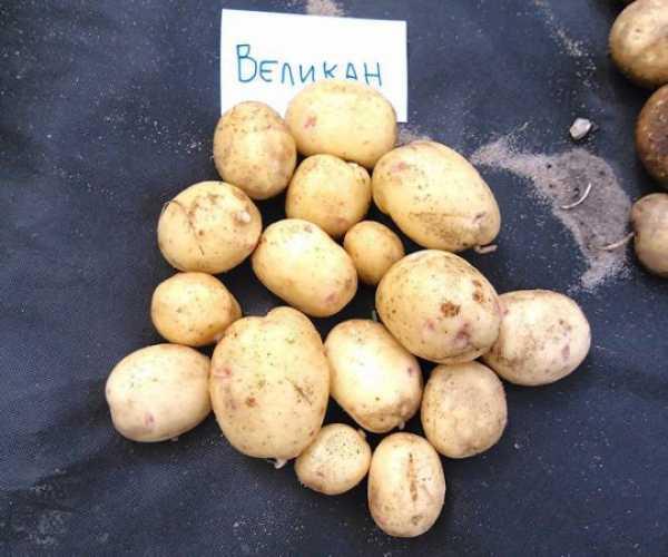Описание сорта картофеля гулливер, особенности выращивание и урожайность