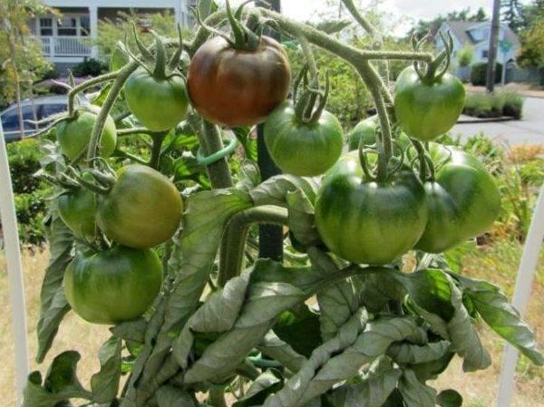 Удивительный томат под названием черный мавр