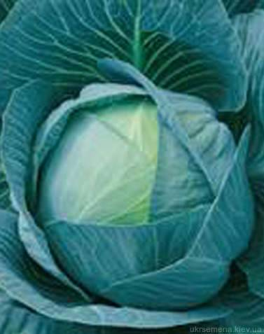 Капуста каменная голова: сорта, фото, описание, выращивание и уход