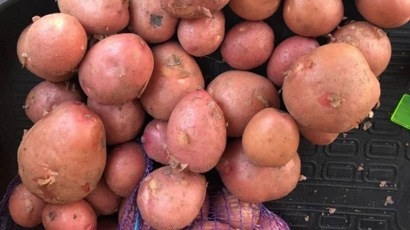 Характеристика картофеля сорта ред соня