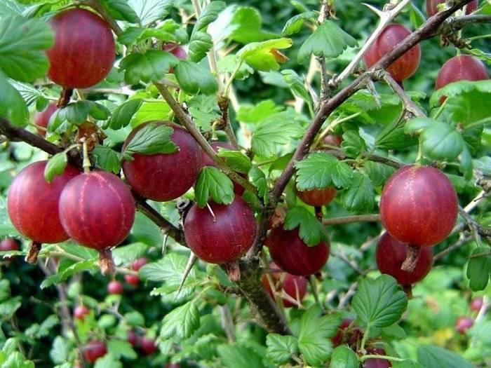 Правила ухода за крыжовником влияющие на урожайность и качество плодов