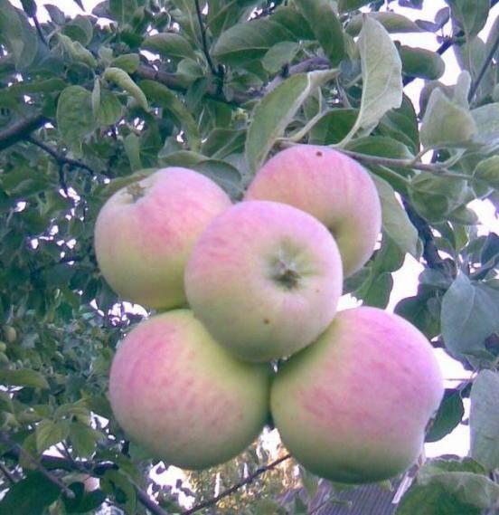 """Яблоки """"северный синап"""":  50 фото, описание, посадка и уход, полезные свойства"""
