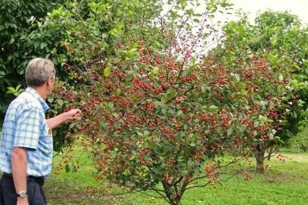 Выращивание и уход за вишней бессея
