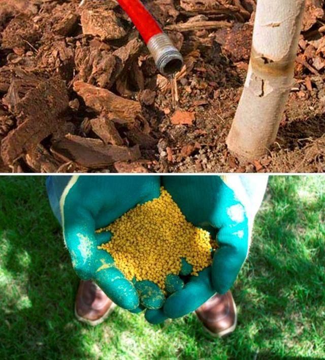 Описание и характеристики груши сорта аббат феттель, посадка, выращивание и уход