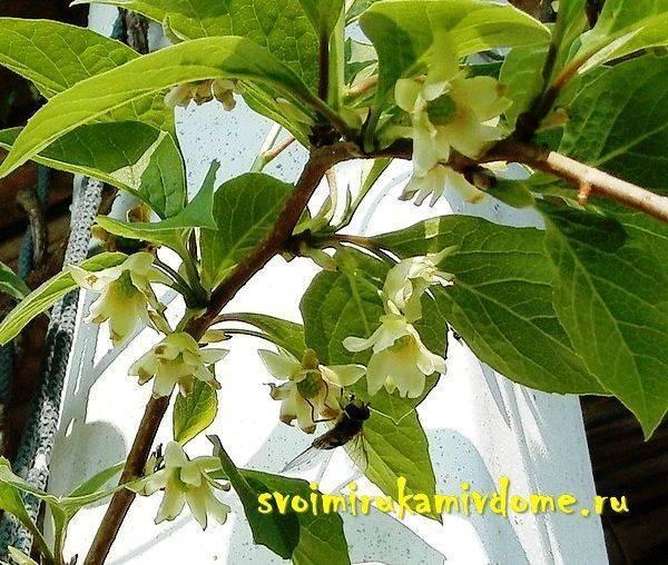 Лечебные свойства, противопоказания и вред китайского лимонника