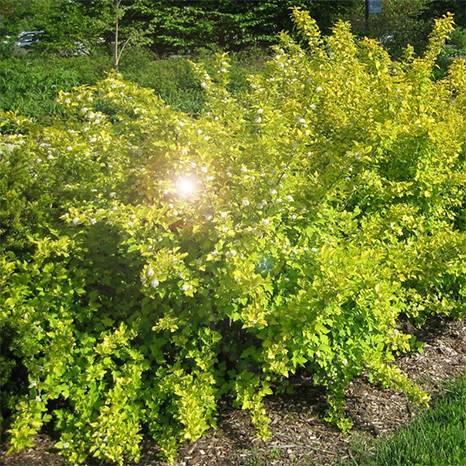 Пузыреплодник желтолистный: фото и описание сортов