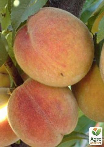 Особенности выращивания и описание персика сорта вайн голд