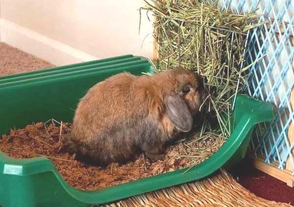 Декоративные кролики: содержание и уход. чем кормить кроликов в домашних условиях?