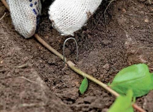 Советы цветоводов о размножении бегонии черенками в домашних условиях