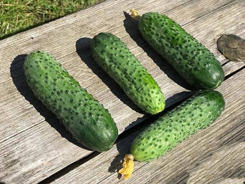 Лучший выбор для начинающего огородника — огурец орзу f1: описание и характеристика сорта