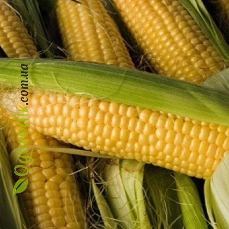 Описание и характеристики лучших сортов сладкой кукурузы, технология выращивания