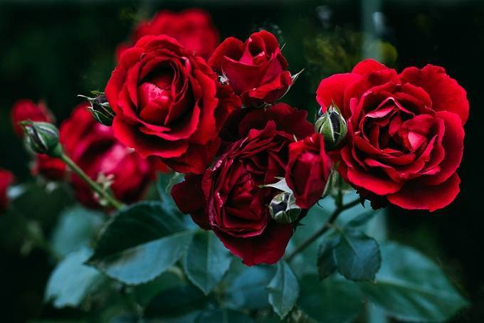 Саженцы роз – как правильно выбрать и отличить от шиповника, правила хранения, особенности посадки и ухода