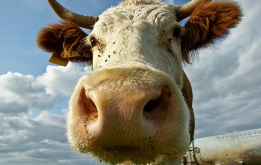 Вирусная диарея крупного рогатого скота